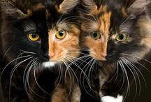 calicos and torties / by melissa miller