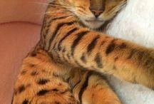 Bengal / Cat