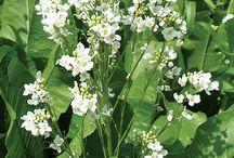 Food:  Horseradish