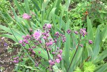 Аклея (akleja, Aquilegia vulgaris)