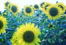 生命感を感じたヒマワリ。 sunflower with feeling of vitality #sunflower #flowers #summer #vitality #ヒマワリ #ひまわり #向日葵 #夏の風景写真