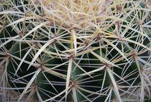 Espinhos de Cactos / As mais diversas formas de espinhos de Cactos
