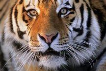 Tigres ermosos