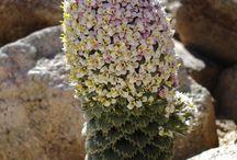 Chilei növény - Chilean plant
