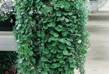 Pot plants heat / drought resistant