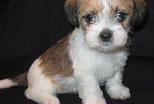 Shih Tzu Terrier / by Lori Holmes
