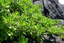 Volcanoes, plants on lava - Vulkány, rostliny na lávě / Life on lava, beauty volcanic landscapes - Život na lávě, krása vulkanických krajin