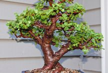 Indigenous to South Africa Bonsai