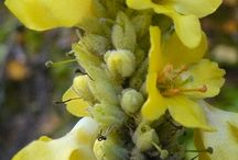 Grande molène - Common mullein (Verbascum thapsus)