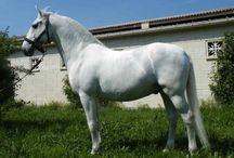 Le Lipizzan / Les chevaux du haras de Lipizza, déjà célèbres dans l'antiquité en raison de leur endurance, de leur force et de leur rapidité, sont la base de la race la plus ancienne à avoir été élevée dans des haras en Europe. On fit venir quelques étalons de la région de Polisina dans le Nord de l'Italie. Neufs autres et vingt quatre juments vinrent d'Espagne. A ceux ci s'ajoutèrent des chevaux du haras royal de Frederiksborg et du haras allemand de Lippe Bucke Burg.