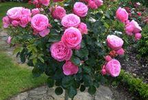 Rose Leonardo Da Vinci ® Meideauri