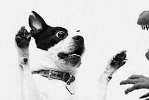 Boston Terrier / All about Bosty's ♥ / by Sharon Abbott