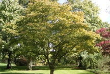 Cultivar Choices-Japanese Maple / Out of the thousands of Japanese Maple cultivars, these are the choices that seem to be most available in to the trade in the Atlanta area