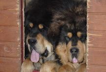 Tibetan Mastiffs / All about Tibetan Mastiffs
