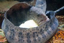 Meet Your Local Wolf-Eel / The Santa Monica Pier Aquarium's wolf eel from egg to today.