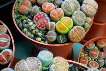 Камни суккулентные