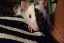 critters - rats and other tiny furry pet types / by Crittergarden Pittsburgh