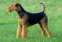 Terrier Group (AKC) / In der Terrier Group werden Hunde geführt, die ursprünglich zur Baujagd und zur Bekämpfung von Mäusen, Ratten und ähnlichen Tieren gezüchtet wurden.