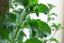 plant extract /