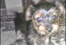 CAYETANA / Mi preciosa yorkshire terrier