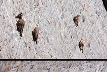 Goats alpine
