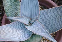 Télálló Hardy Aloe
