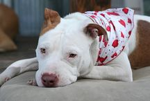 Ending Breed-Discriminatory Legislation / by Stubby Dog
