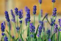 lavender love / imagine a smell of lavender on a sunny breezy day... just breath!