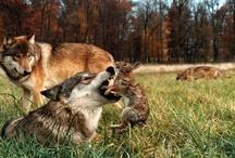 Rabbitwolf