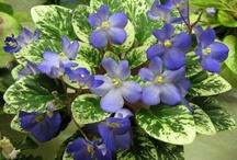 africké fialky / květina
