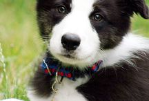 Border Collie friend