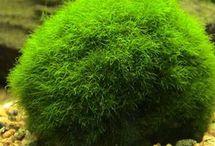 Cladophoraceae