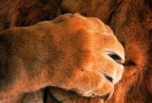 "lion ""Oh p...."""