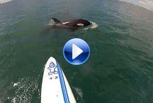 rencontre avec un orque en Paddle