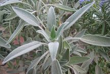 Salvia lieci