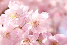 桜 春 作撮 イメージ