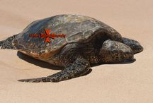 Hawaii Sea Turtles
