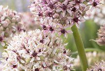 Kasvit - Allium