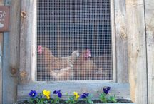chicken coops.... / by Amy Ferringer