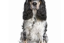 Cocker Spaniel / Cocker Spaniels are been around for many hundreds of years, though until the mid 19th Century, Cocker and Springer Spaniels were considered to be the same, and indeed, both types often emerged from the same litter. Both types were originally used for flushing and retrieving game from land and water, until eventually a smaller Spaniel was developed. http://www.noahsdogs.com/m/dogs/breed/English-cocker-spaniel#sthash.QN7qBxlH.dpuf www.NoahsDogs.com