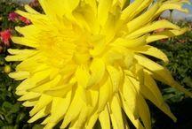 Cactus-flowering Dahlias
