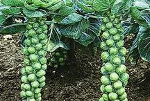 Brussel Sprouts to grow