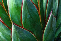 agave / agave