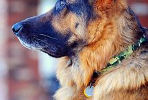 German Shepherds / For my love of this awesome breed / by Pamela Massey