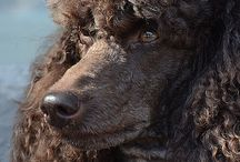 Poodles Great and Small / All things poodle / by Debi Mallory