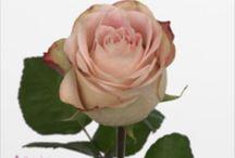 rose cipria