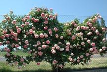 Rose Pierre de Ronsard ® Meiviolin