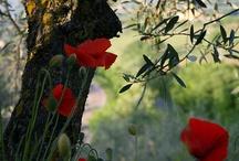 """Poppies / """"Gentils Coquelicots Mesdames, Gentils Coquelicots Nouveaux"""""""