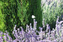 Lavender & Butterfly - Delicadeza  Efêmera / Sob o Sol da Provence. A natureza na sua mais bela expressão