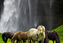 Chevaux nature